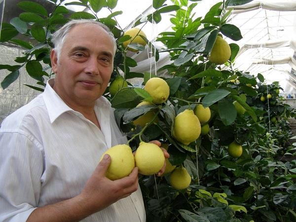 Выращивание лимонов в теплице